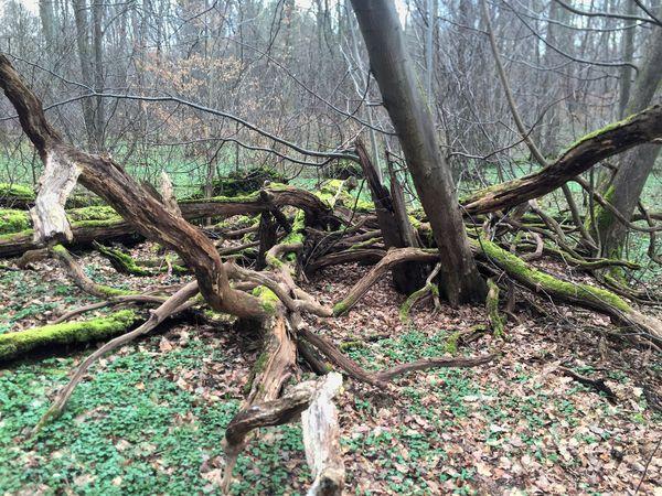 Heruntergefallene Äste und umgefallene Bäume werden liegen gelassen.