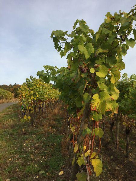 Weinstock am Wanderweg zur Landskrone, Bad Neuenahr