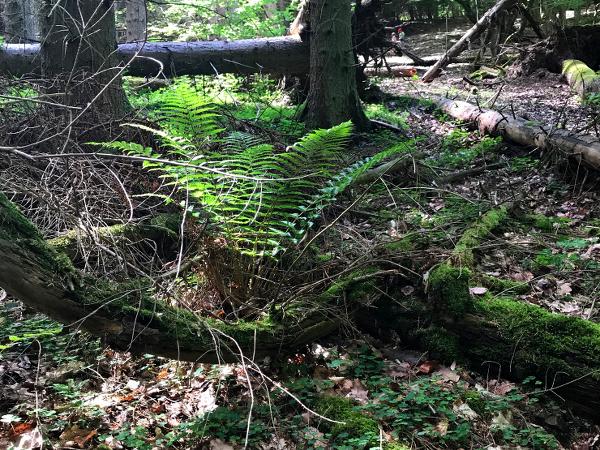 Farn am Wegesrand im Wald
